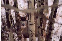 Deer In Aspens