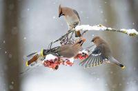 Red birds in winter