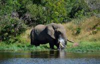 Bull Elephant - drinking before a swim
