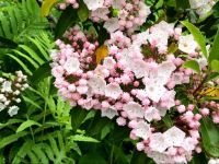 Mountain Laurel-Connecticut State Flower