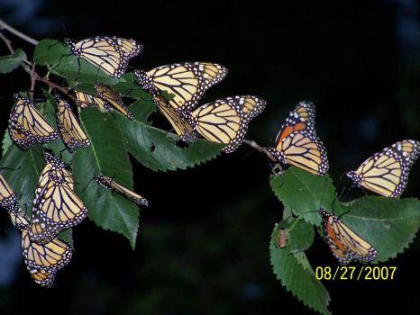 monarchs 12
