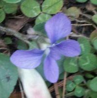 wood violet close up