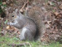 Grey squirrel enjoying peanuts or groundnuts.