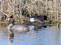 nest building grebes