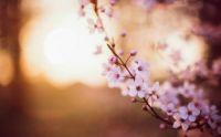 cherry-pink-flowers-spring-macro-bokeh