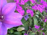 Clematis 'Ruby Glow' and cinerarea