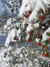 holly bush in the snow