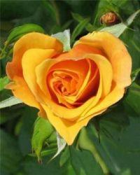 Rose-Heart. . .