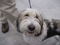 PBGV Puppy at his first Dog Show