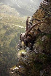 Mongolian Ibex