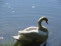 labuť - samec