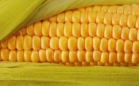 corn-close-up