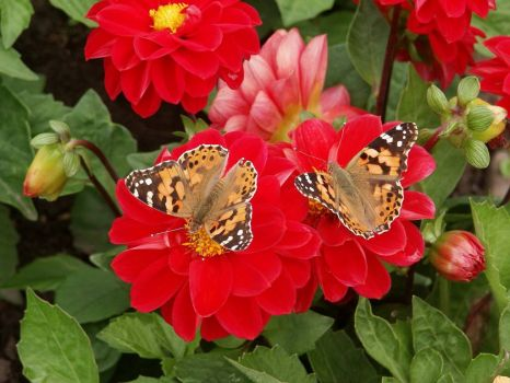 'Painted Ladies', butterflies - 30th Jul 2003