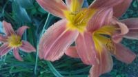 one of my day lillies