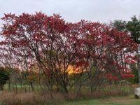 Sunrise through Red Sumac