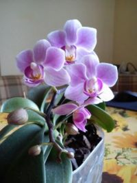 My friend's orchid 2