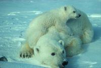 Polar Bear Babies 6/9/18