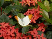 13,02,19 St. Maarten Butterfly