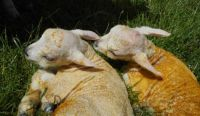 Freshly born lambs