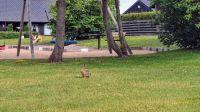 Hare i(n) Dalby