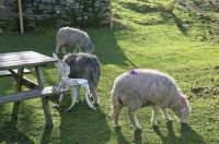 Herdwick Sheep at Elterwater