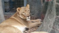 Lioness at Houston zoo