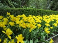 Yellow Tulips (April 2017)