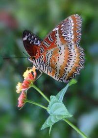 Butterfly on a Lantana Blossom