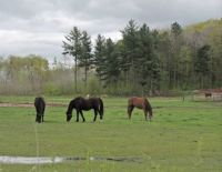 Horses in a wet pasture
