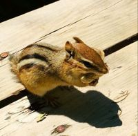 Cheeky Chipmunk having lunch on the picnic table