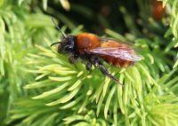 Tawny mining bee - Andrena Fulva (vos)