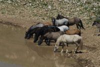PRYOR MOUNTAIN HORSES     CLOUD'S  FAMILY