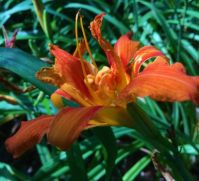 daylily and visitor--medium
