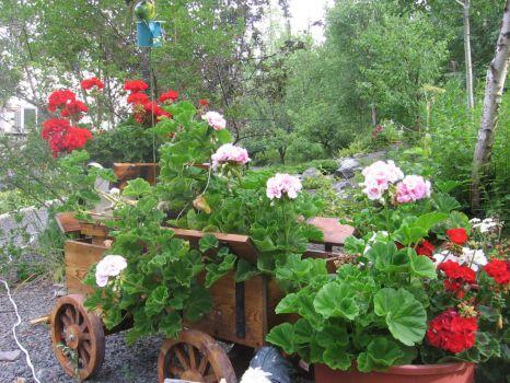 pelargonium aka geranium