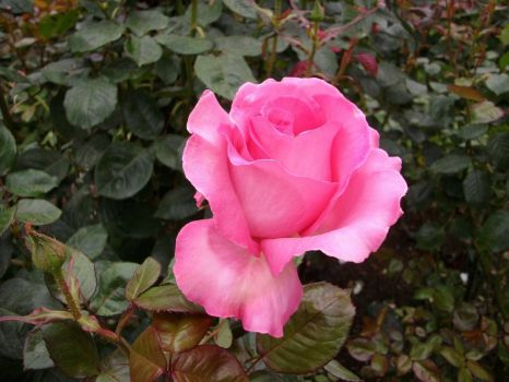 Rose in Christchurch Botanical Garden