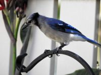 Young Blue Jay in South Carolina