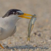 Least Tern with Spearing Fish