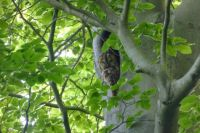Tawny owl catching a nap
