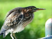 Unsettled Immature Green Heron