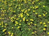 IMG_3400 Veld  vol  Paardenbloemen