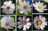 Collage #9 of my Cosmos or Cosmea  (challenge)