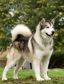 Theme, dogs: Alaskan malamute