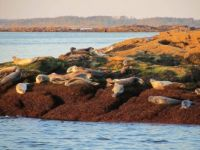 Seals, Island off Port Clyde, Maine