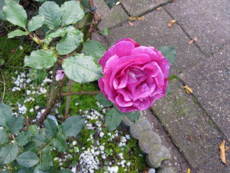 My (last??) rose in October