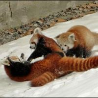 TICKLE FIGHT!!  Red Panda style