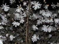 Unknown flowering bush/tree