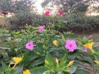 Four o'clock plant, or 'Marvel of Peru'