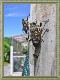 Newly hatched Cicadas .
