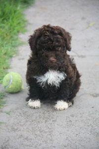 splash - lagotto pup