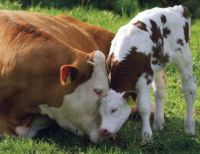 mother love cow-and-calf